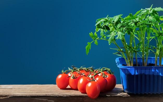 Mudas de tomate na panela e tomates maduros