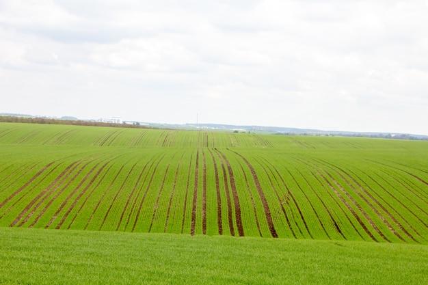 Mudas de trigo jovem crescendo em um campo. céu nublado