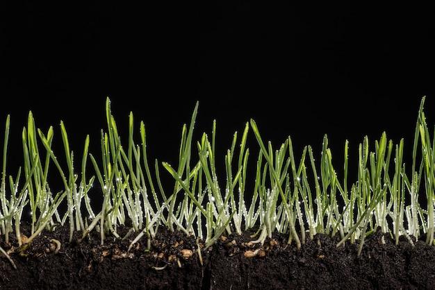 Mudas de trigo verde com raízes após a chuva.