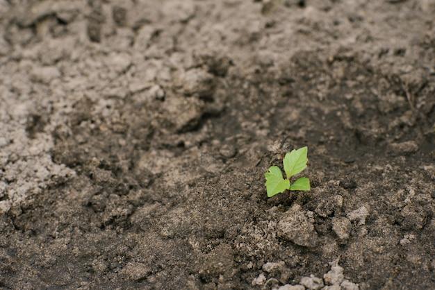 Mudas de uma flor dália na primavera no jardim. copie o espaço