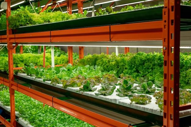 Mudas de vários tipos de alface ou espinafre crescendo em pequenos vasos em prateleiras dentro de uma grande fazenda vertical contemporânea ou estufa
