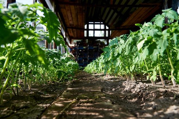 Mudas de vegetais crescem na estufa à luz do sol.