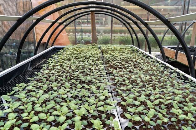 Mudas de vegetais crescendo em viveiros industriais ou empresas de cultivo agrícola de plantas com efeito de estufa