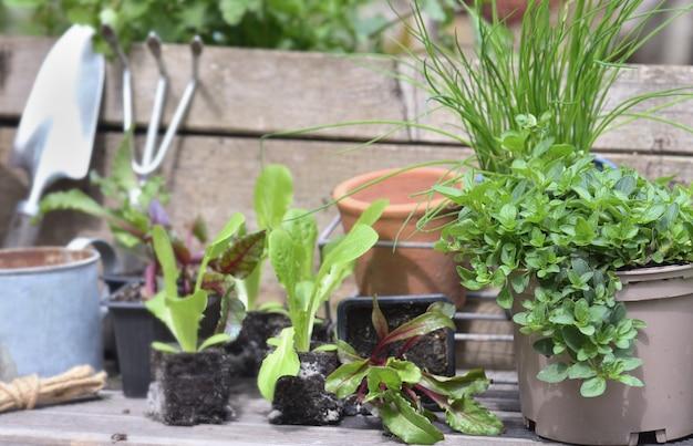 Mudas de vegetais e plantas aromáticas no jardim