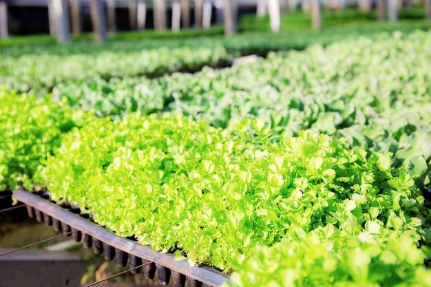 Mudas de vegetais orgânicos em bandejas.