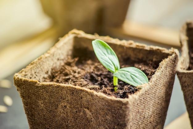 Mudas em xícaras. foco seletivo. plantas da natureza.