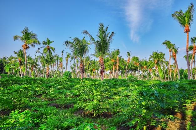 Mudas jovens de mamão, em uma ilha tropical nas maldivas, parte central do oceano índico.