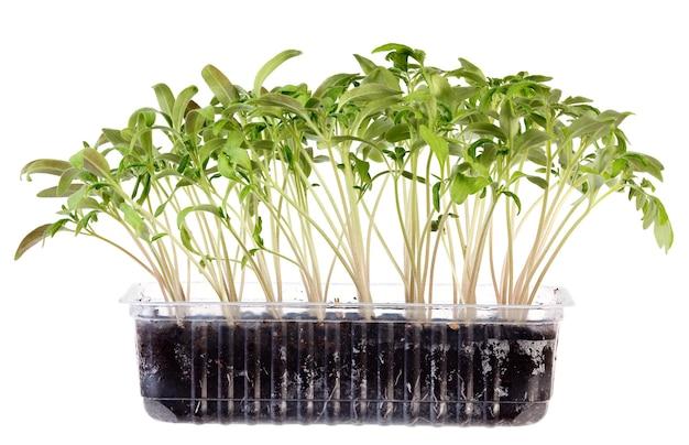 Mudas jovens de plantas florais para o jardim, isoladas em um fundo branco Foto Premium