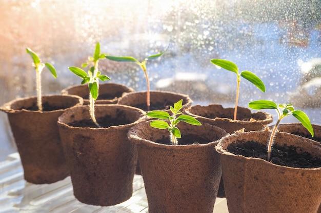 Mudas jovens de sementes. mudas jovens de plantas, tomates e pimentões em vasos de turfa.