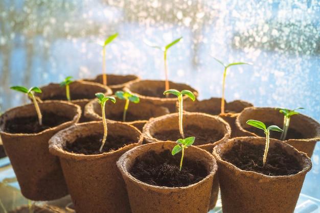 Mudas jovens de sementes. mudas jovens de plantas, tomates e pimentos em vasos de turfa.