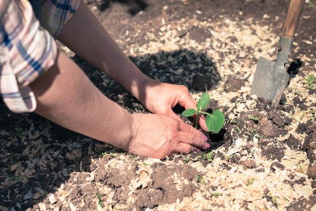 Mudas nas mãos de uma agricultora, plantando brotos no solo