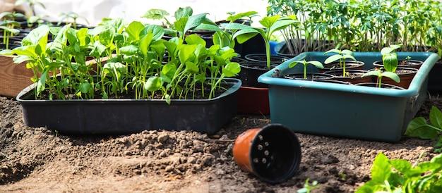 Mudas para plantar plantas de jardim na primavera.