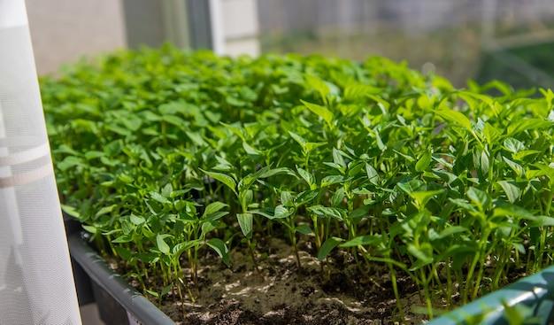 Mudas pequenas crescendo em uma bandeja de cultivo