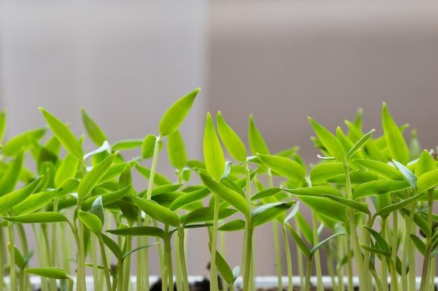 Mudas pequenas de alface crescendo em bandeja de cultivo