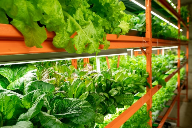 Mudas verdes de vários tipos de repolho crescendo em prateleiras ao longo dos corredores dentro de uma grande fazenda vertical contemporânea ou estufa