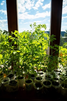 Mudas verdes jovens brotam na bandeja de mudas perto da janela. plantar sementes crescendo em pequenos vasos na primavera. plantação de vegetais em casa