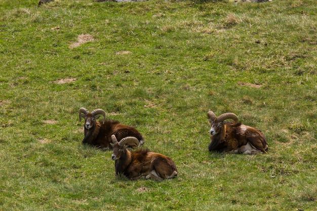 Muflão na primavera em capcir, pirineus, frança