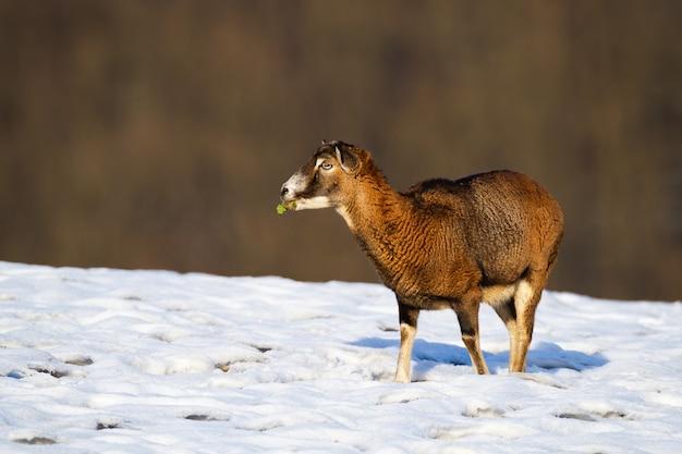 Muflão, ovelha, alimentando-se de um campo coberto de neve no inverno