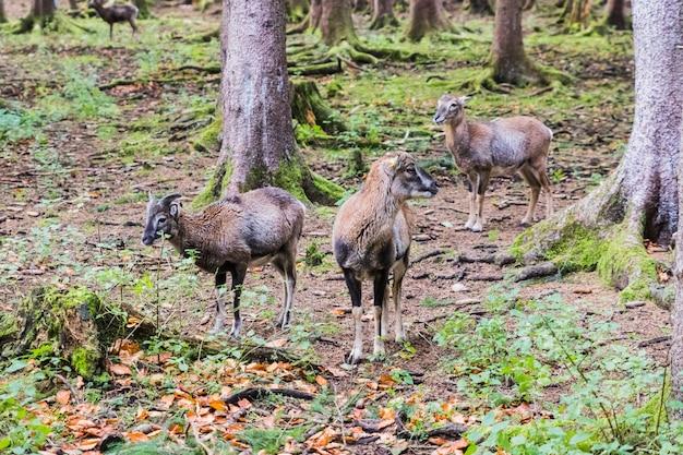 Muflon masculino na floresta