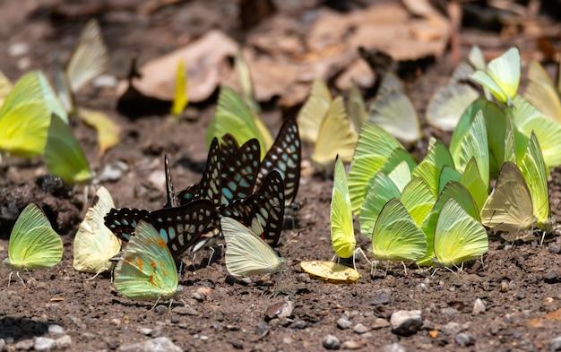 Muita borboleta no chão da floresta