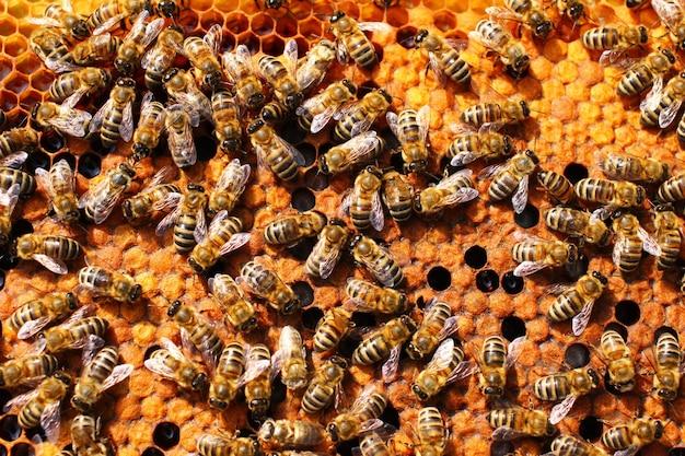 Muitas abelhas em uma colmeia no apiário, close up