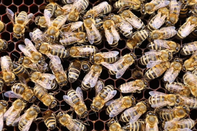 Muitas abelhas na colmeia close-up