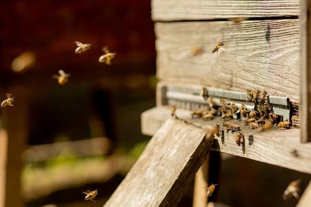 Muitas abelhas retornando à colmeia e entrando na colmeia com néctar floral coletado e pólen de flor.