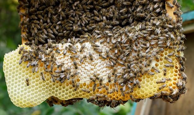Muitas abelhas trabalham nos favos de mel, no apiário