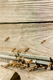 Muitas abelhas voltando para a colmeia e entrando na colméia.