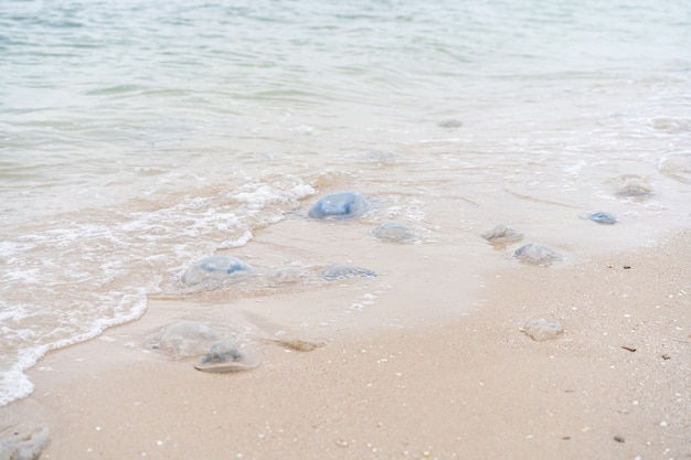 Muitas águas-vivas mortas na praia do mar em águas rasas cornerot e medusas aurelia na costa arenosa e na água. catástrofe ecológica do mar de azov, aquecimento global