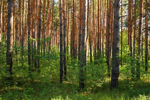 Muitas árvores coníferas na floresta.