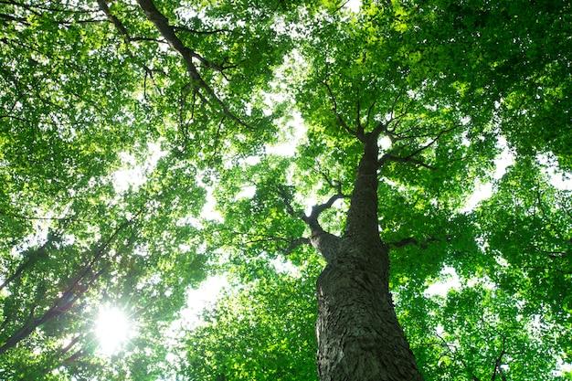 Muitas árvores na floresta