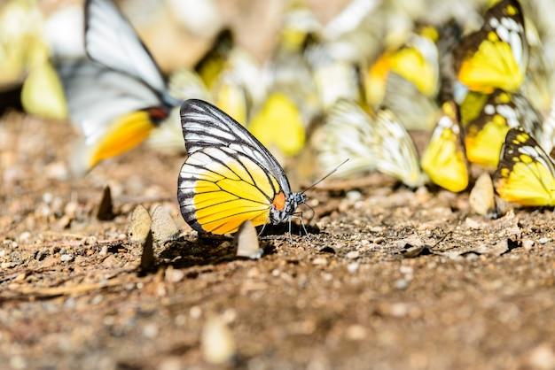 Muitas borboletas pieridae reunindo água no chão