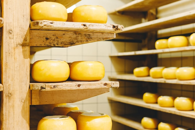 Muitas cabeças de queijo holandês amarelo em cera amadurecem nas prateleiras de madeira na fábrica de queijo