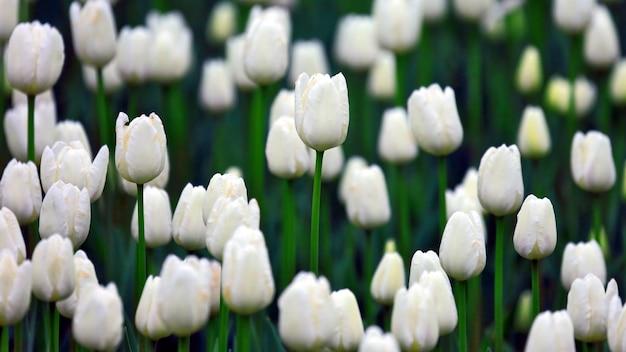 Muitas crescentes tulipas brancas. botânica de flores