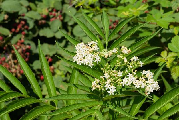 Muitas delicadas flores brancas e folhas verdes borradas da árvore sambucus conhecida como sabugueiro ou sabugueiro ou cuttsia em um jardim ensolarado