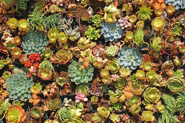 Muitas espécies de plantas suculentas frescas no jardim suculento com - padrões exteriores de textura de fundo para o jardim doméstico exterior - vista superior - cenário de folha tropical e detalhes bonitos