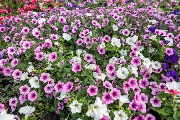 Muitas flores coloridas durante a floração sazonal em estufa