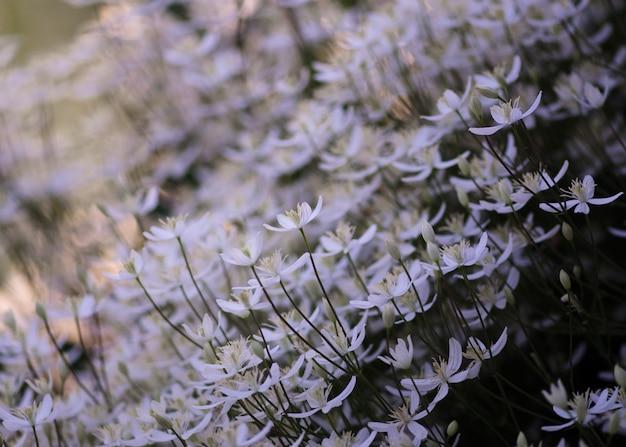 Muitas flores de clemantisias brancas crescem no jardim