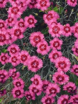 Muitas flores de cravo rosa no jardim