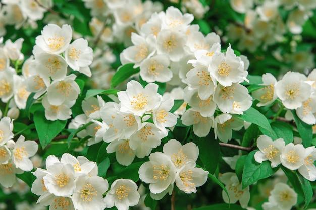 Muitas flores de jasmim desabrochando em um fundo de árvore de jasmim ao ar livre