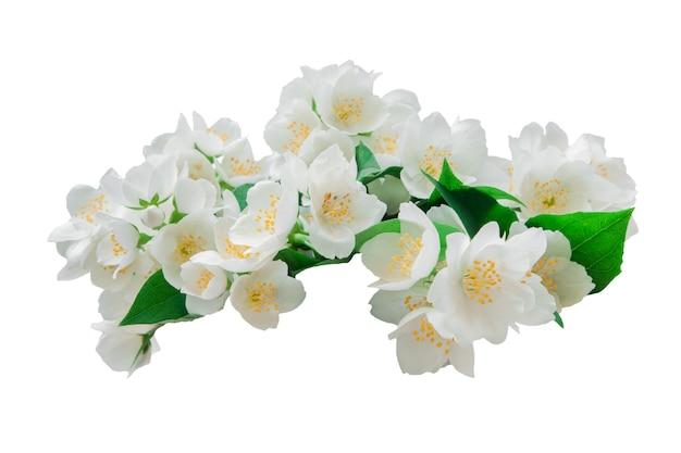 Muitas flores de jasmim isoladas