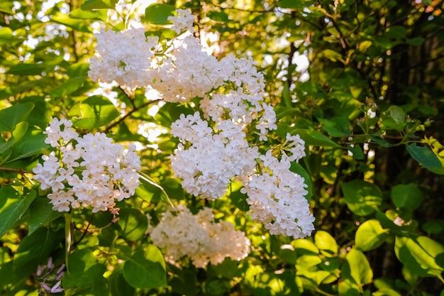 Muitas flores pequenas de lilás de verão, arbusto em plena floração no jardim ensolarado de primavera
