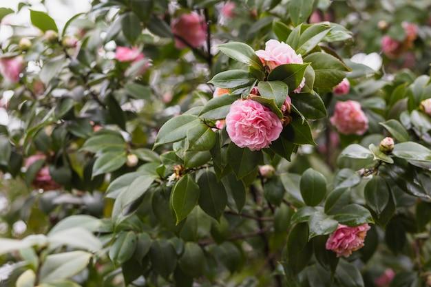 Muitas flores rosa crescendo em galhos verdes com gotas