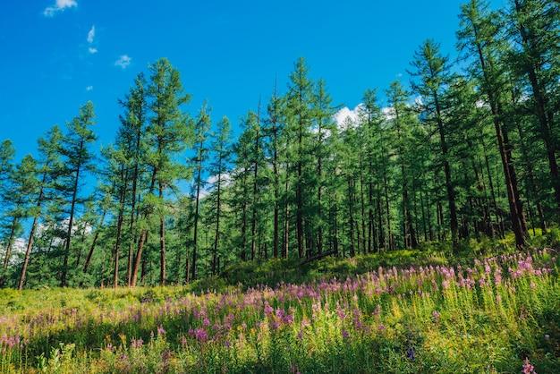 Muitas flores rosa de erva-do-fogo florescem no gramado da floresta em um dia ensolarado