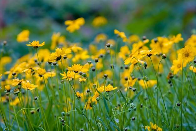 Muitas flores silvestres amarelas de verão, como margaridas em um fundo verde. muitas flores sem folhas. o fundo está desfocado. foco seletivo.