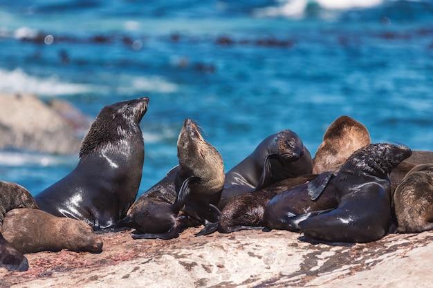 Muitas focas em uma ilha de focas de hout bay na cidade do cabo, áfrica do sul