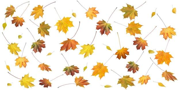 Muitas folhas coloridas de bordo de outono e bétula isoladas em branco (fundo de outono com proporções de lados 2 para 1)