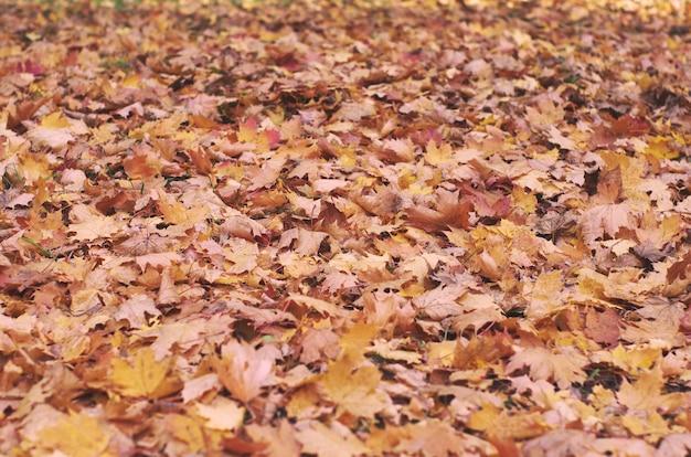 Muitas folhas de bordo caídas amarelas e vermelhas do outono.