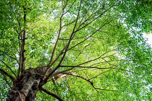 Muitas folhas na árvore grande com luz solar, vista de abaixo ou abaixo, fundo da natureza.